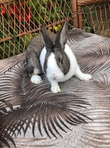 Male (buck) Dutch rabbit in Naperville, Illinois