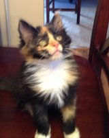 Adorable 10 week kitten for adoption. in Westmont, Illinois