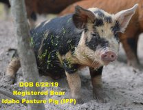 Registered BOAR Idaho Pasture Pig (IPP) in Bellaire, Texas