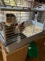 cage with 2 guinea pigs in Spring, Texas