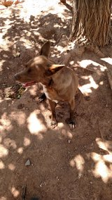 Cattle dog mix in Alamogordo, New Mexico