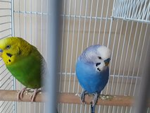Parakeets in Chicago, Illinois