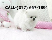 5ous Male and Female pomeranains;' Breed: POMERANIAN in Fort Riley, Kansas