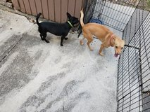 2 great dogs for free in Lackland AFB, Texas