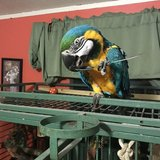 Blue and Gold w/ Cage and Food in Quantico, Virginia
