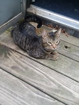 2yr Old cat to good home in Fort Leonard Wood, Missouri