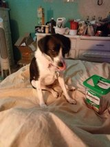Heidi: A Perfect ESD or agility dog for the right person. in Fort Campbell, Kentucky