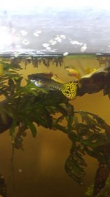 Male cobra guppies and babies in 29 Palms, California
