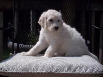 poodle puppy     (standard ) in Fort Knox, Kentucky