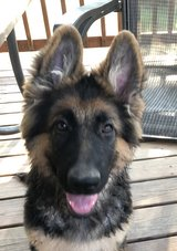 Last one! GSD long coat puppy available in Fort Leonard Wood, Missouri