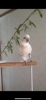 goffin cockatoo in Fort Campbell, Kentucky