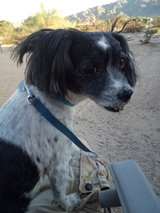 found dog off 2mile between hall st. and larrea has Missy written on collar in 29 Palms, California
