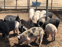 Hampshire/Berkshire cross pigs in 29 Palms, California