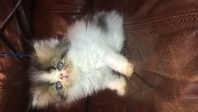 Extreme flat face Persian kittens and more!!! in The Woodlands, Texas