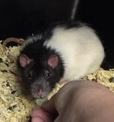 """10 Month Old Black Hooded Male Rat -- """"Enzo"""" in Chicago, Illinois"""