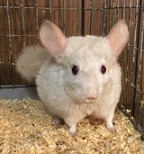 """2 Year Old Goldbar Male Chinchilla -- """"Clyde"""" -- super sweet! in Chicago, Illinois"""