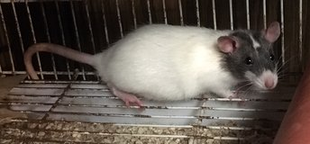 6.5 Week Old Black Capped Male Rat -- shy but sweet! in Chicago, Illinois
