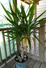 """Life Plant  58"""" Yucca Cane in  Metal Container in Fort Campbell, Kentucky"""