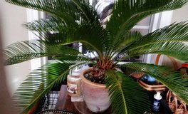 Like Plant Sago Palm in  Ceramic Glazed Pot in Clarksville, Tennessee