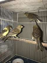 Canary Babies in Chicago, Illinois