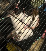 6 Week Old Female Baby Rats + Mom Rat Up for Adoption in Chicago, Illinois