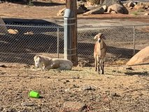 Goats in Camp Pendleton, California