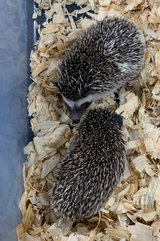 HEDGEHOGS in Chicago, Illinois