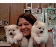 zqlm  cute pomeranian babies for sale in Duncan, Oklahoma