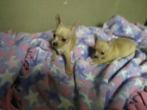 Chihuahuas in The Woodlands, Texas