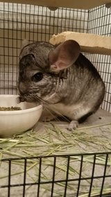 """4 Year Old Standard Grey Female Chinchilla -- loves playtime -- """"Red"""" in Chicago, Illinois"""