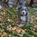 Adorable pitbull pups AKC registered in Cherry Point, North Carolina