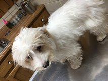 Lost Maltese / shih tzu mix in Fort Campbell, Kentucky