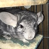 """3 Year Old Standard Grey Female Chinchilla -- loves to be scratched! -- """"Cheechee"""" in Chicago, Illinois"""