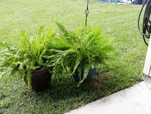 Two Ferns in Kingwood, Texas