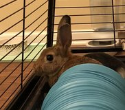 Young rabbit in Clarksville, Tennessee