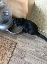 3 six month old kittens in Fort Campbell, Kentucky