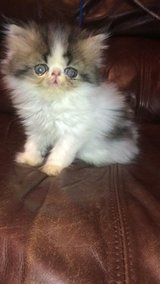 Male Persian kitten in The Woodlands, Texas