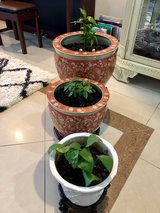 Indoor Plants with pots (stands not included) in Okinawa, Japan