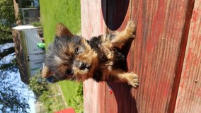 Yorkie puppy for sale in Bolingbrook, Illinois