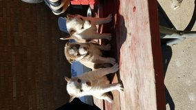 Husky puppies for sale in Bolingbrook, Illinois