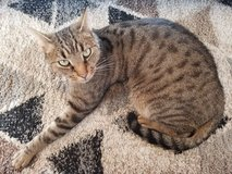 Cat for Adoption in Ramstein, Germany