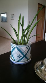 Sansevieria in Ceramic Planter in Okinawa, Japan
