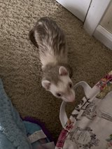 Ferret with 2 Cages in Fort Leonard Wood, Missouri