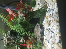 Baby African cichlid (OB Parakeet cichlid) in Glendale Heights, Illinois