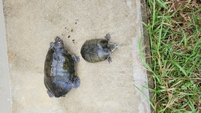 Free Young Turtles Different Species in Okinawa, Japan