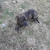 Full Blooded Brindle Pitbull in Cadiz, Kentucky