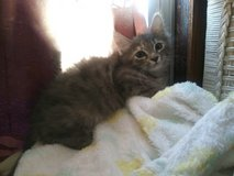 Kittens Need good homes 11 weeks in 29 Palms, California