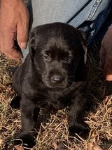 AKC registered, Lab puppies in Fort Benning, Georgia