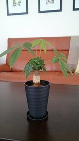 Pachira Plant (for indoor) in Okinawa, Japan