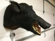 Wild Boar mount in Joliet, Illinois
